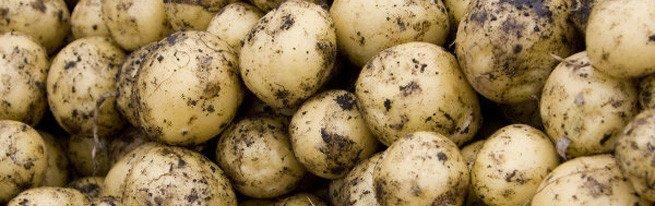 Крупная картошка из маленького семечка или как размножить картофель семенами