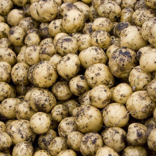 Как выращивать картофель из семян в домашних условиях