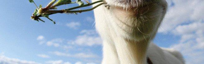Незаразные болезни коз, выявление симптомов и лечение