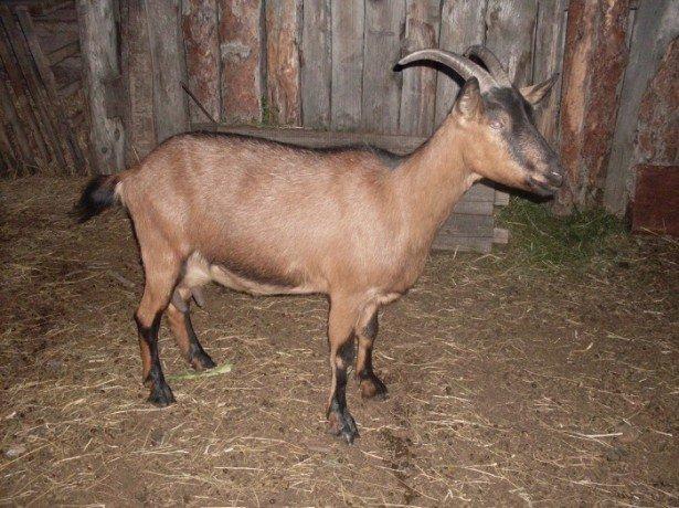 Фотография козы