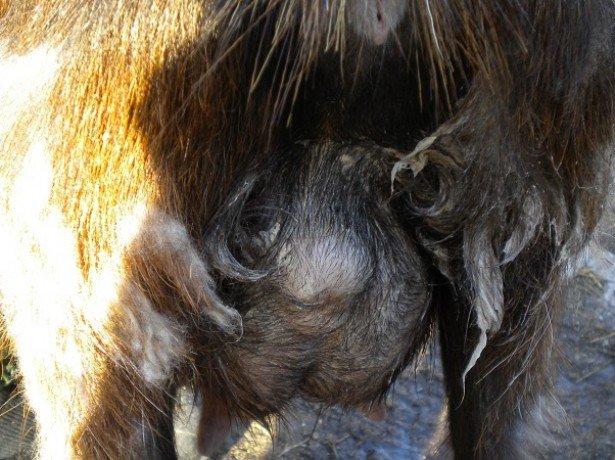 На фото вымя козы