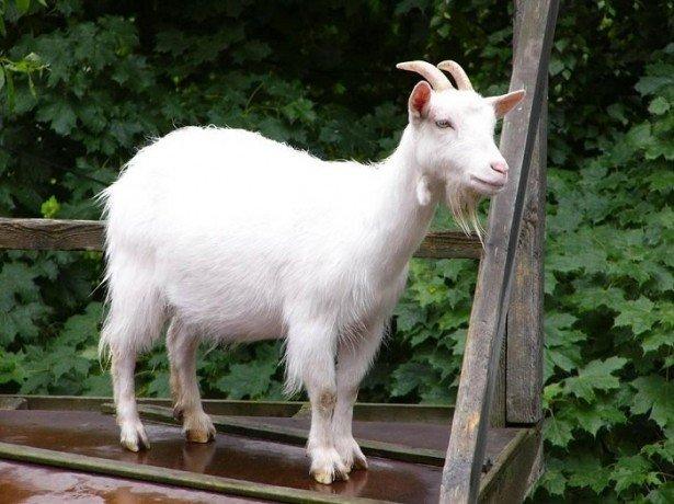 На фотографии коза