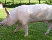 На фото разделанная свинья