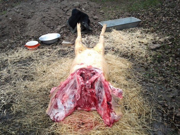 На фото разделывание туши свиньи
