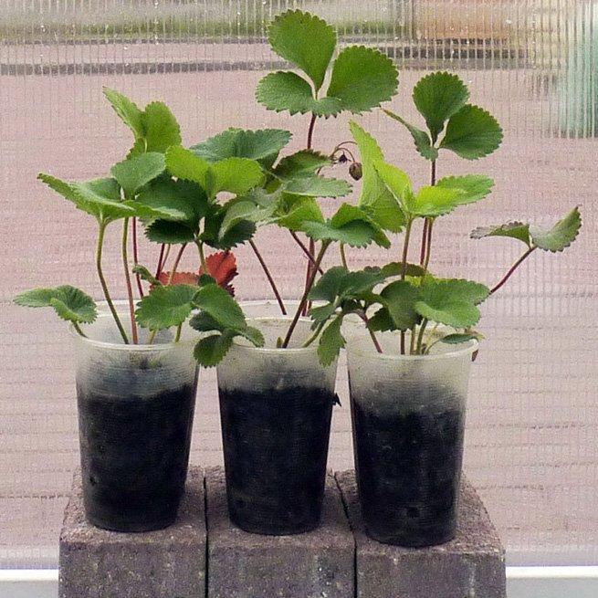 Выращивание усов на рассаду 20