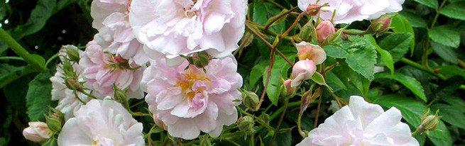Размножение роз с помощью летних травянистых черенков