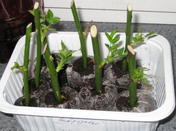Как правильно осенью посадить черенки роз