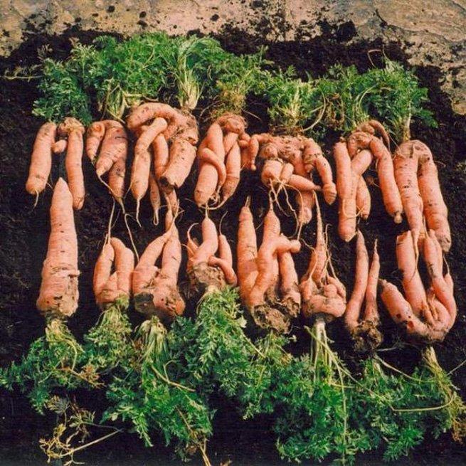 Почему у моркови большая сердцевина