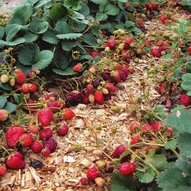 Ремонтантная клубника выращивание и уход видео