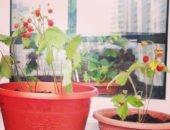 Фото выращивания земляники на подоконнике