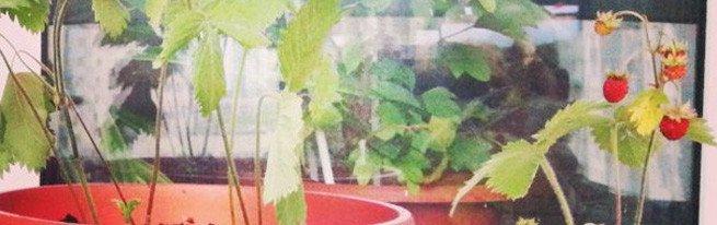 Садовая земляника на подоконнике – подробная инструкция по выращиванию земляники дома