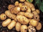 Увеличиваем урожай картошки с помощью голландской технологии выращивания