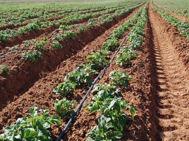 На фото выращивание картофеля голландским методом