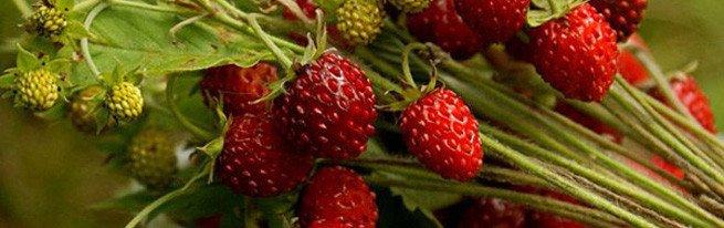 Вредители и болезни, которые чаще всего встречаются на плантациях садовой земляники