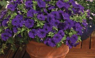 Выращивание рассады петунии своими руками – отличный способ сэкономить и получить красивые цветы