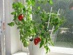 Выращивание рассады помидоров на подоконнике: как добиться отличного результата?