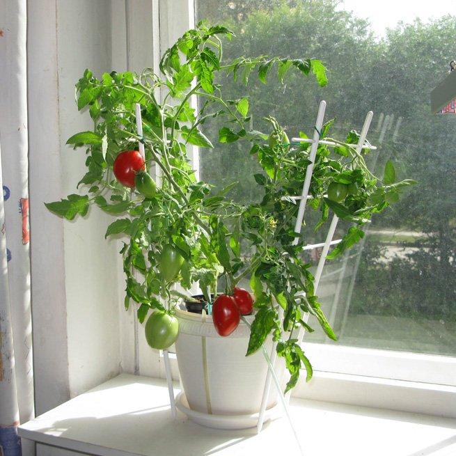 Фото рассады помидоров