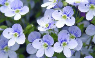 Болезни и вредители фиалок: мучнистая роса, фитофтороз, тля, клещи, червецы