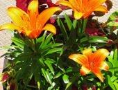 Фото лилии