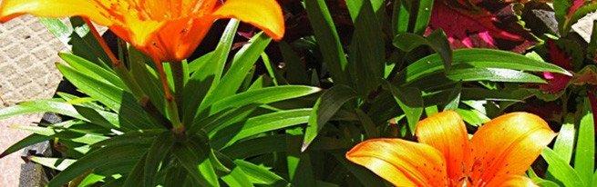 Хранение луковиц лилии зимой: подготовка к хранению и выбор подходящего места