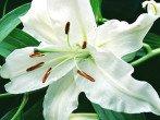 Какие сорта лилии выбрать для своего цветника, и как не купить лилии, не существующие в природе