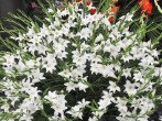 Когда лучше сажать лилии, осенью или весной