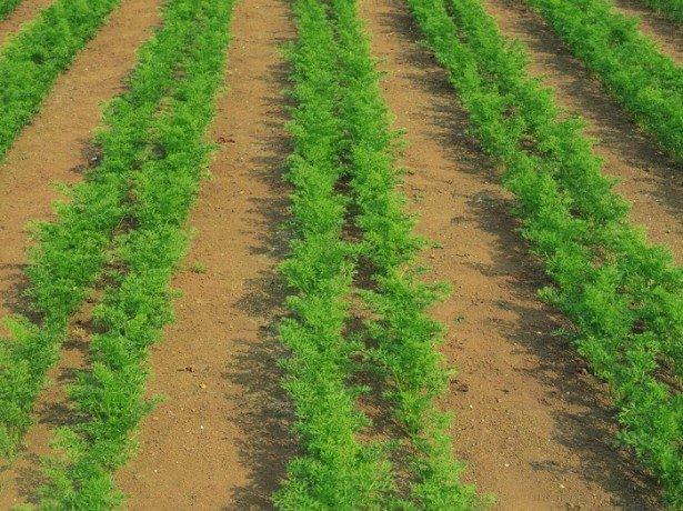На фото выращивание моркови