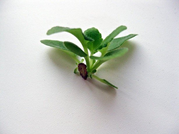 На фото размножение фиалки