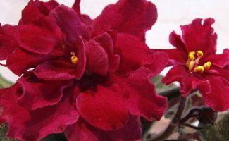 Способы размножения фиалок: листом, пасынками, цветоносами, семенами