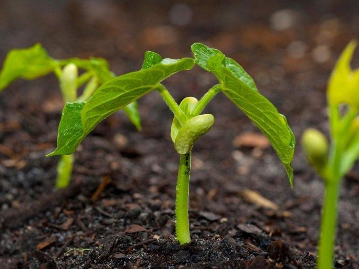 На фото выращивание фасоли