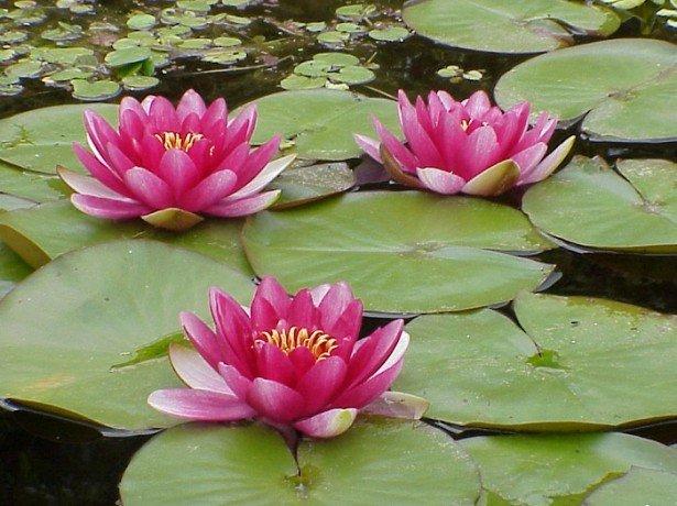 Фото водяных лилий