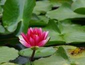 Фото водяной лилии