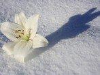 Зимовка лилий – оставлять лилии на зиму в грунте или выкапывать?