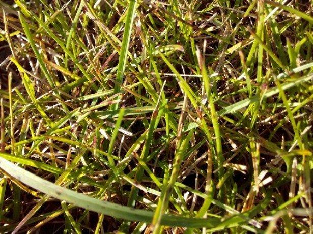 Фото ржавчины газонной травы