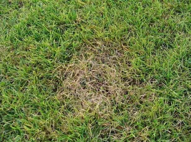 На фото болезнь газона, красная нить