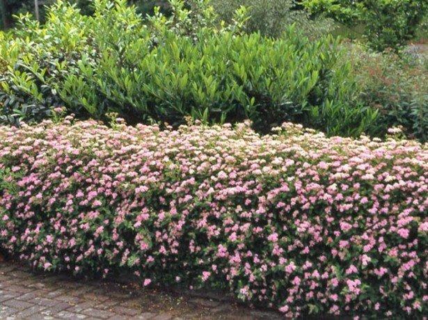 На фото изгородь из кустов барбариса, боярышника и ивы