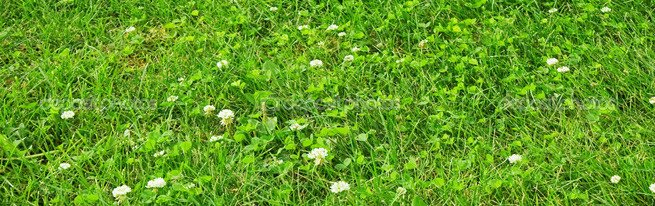 Цветущая лужайка своими руками - как вырастить мавританский газон или газон из клевера