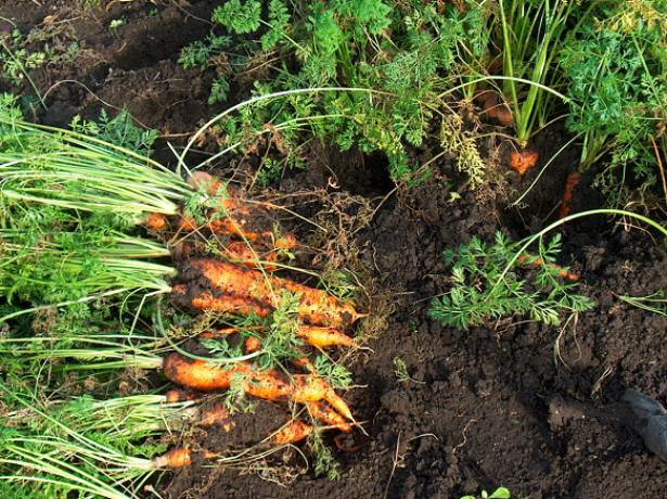На фотографии морковь