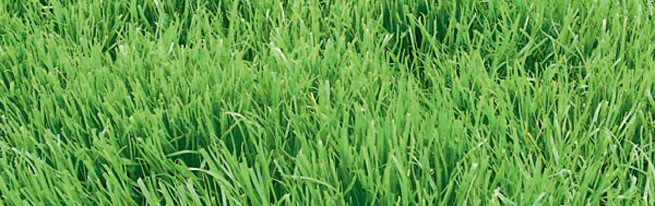 Как посеять газонную траву правильно, чтобы получить идеальную зелёную лужайку