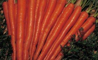 Как определить оптимальные сроки, когда выкапывать морковь?