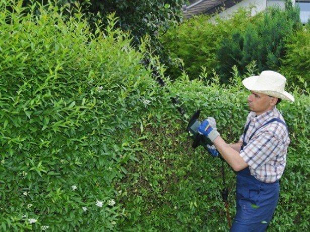 На фото живая изгородь из ивы