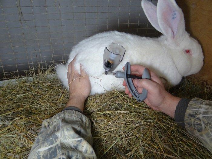 Чем привить кроликов в домашних условиях 12