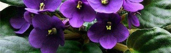 От маленького листочка до пышно цветущего растения или как вырастить фиалку из листа