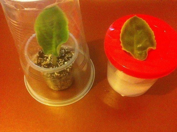 На фото выращивание фиалки