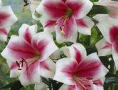На фото лилии