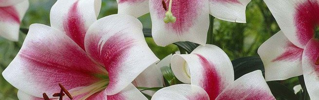 Пышное цветение лилий – как ухаживать за лилиями до цветения, во время него и после
