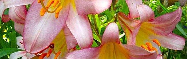 Садовые лилии – выбор подходящего места в саду, особенности посадки и ухода