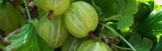 Самые лучшие распространенные сорта крыжовника: малахит, финик, грушенька, колобок и другие