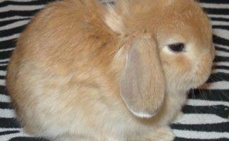 Содержание декоративных кроликов в домашних условиях и правильный уход за ними