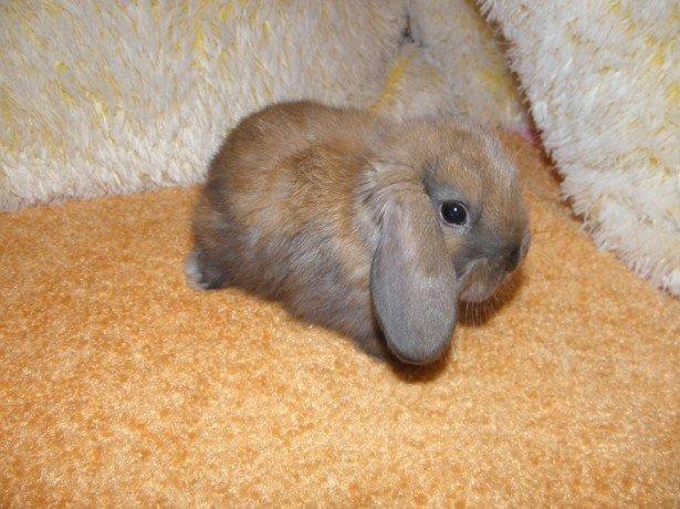 Фотография декоративного кролика